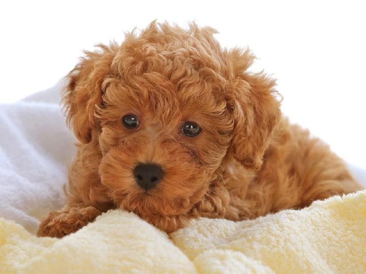 Chó Poodle có bộ lông xù xoắn rậm rạp trở thành điểm nổi bật khiến chúng được ưa chuộng