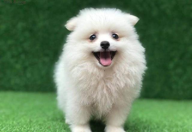 Giống chó Phốc sóc với vẻ ngoài nhỏ nhắn cùng khuôn mặt siêu đáng yêu