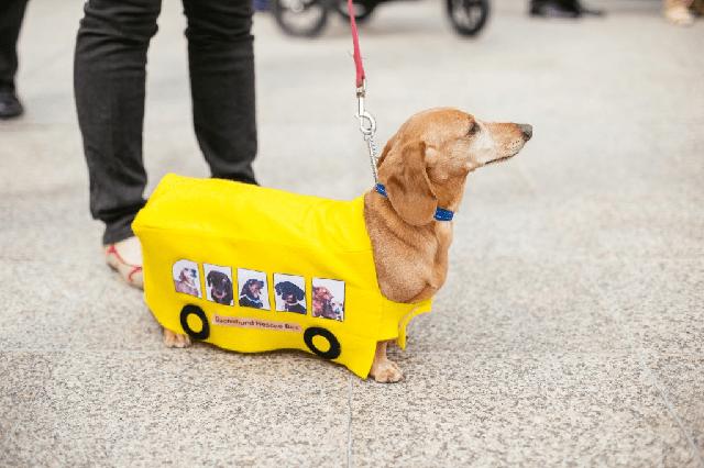 Quần áo cho chó lạp xưởng xe bus màu vàng