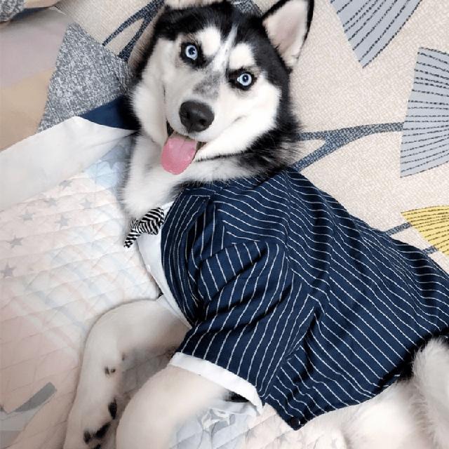 Quần áo chó husky công sở size lớn