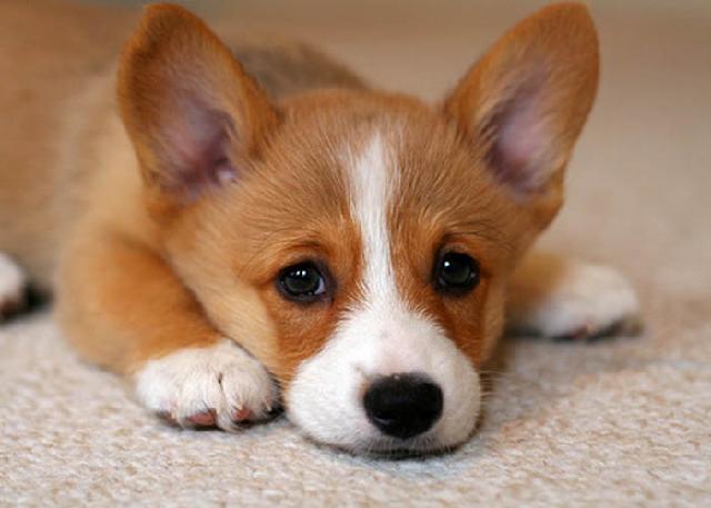 Chó con có tỉ lệ mắc bệnh Care cao
