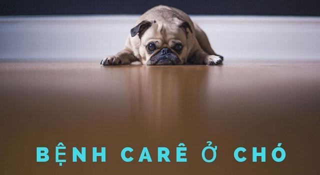 Chó bị bệnh Care thường ủ rũ