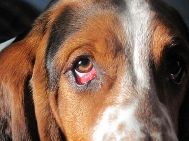 Chó bỏ ăn và mắt ra nhiều ghèn cần phải làm gì?
