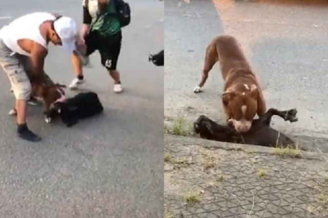 Chó Pitbull cắn chết dê