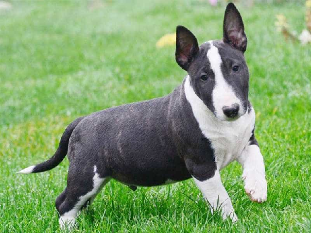 Chó Sục Bò có nguồn gốc từ nước Anh được lai từ giống chó Terrier và chó Bulldog
