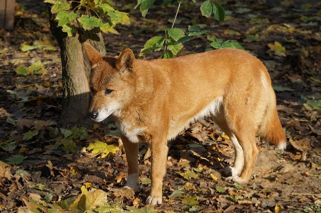Giống chó Dingo Đông Dương là một trong tứ Quốc Khuyển ở Việt Nam.