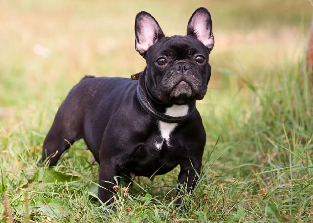 Giống chó Bull Pháp được lai tạo từ giống chó Bull Anh và Chó Sục Pháp