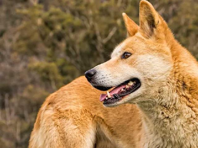 Chó Lài mang dáng vóc của một chúng chó chuẩn Việt Nam, dáng thon gọn, thanh thoát và nhanh nhẹn