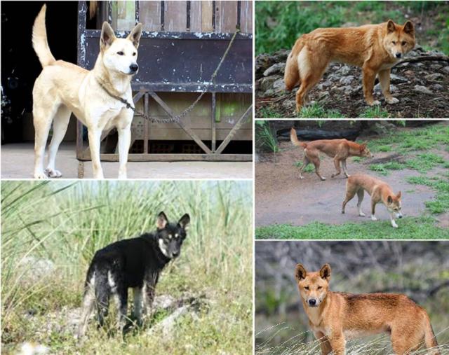 Các màu lông cơ bản thương thấy của chó Dingo Đông Dương