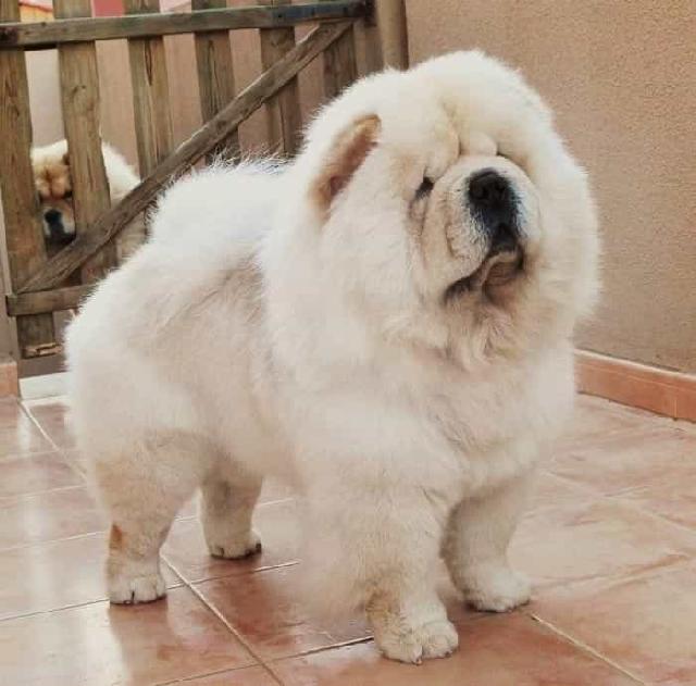 Chó Chow được lại tạo nhiều và trở thành giống chó cảnh hiện đại