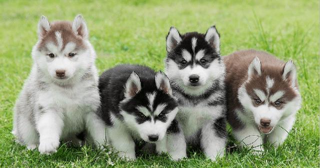 Chó husky có những đặc điểm ngoại hình tương đối giống với giống chó alaska