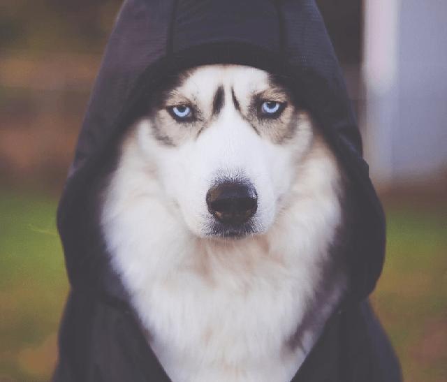 Chó husky mang dáng vóc ngầu như sói