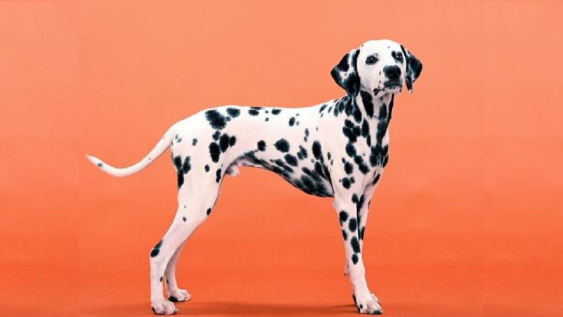 Chó đốm có tên gọi là Dalmatian