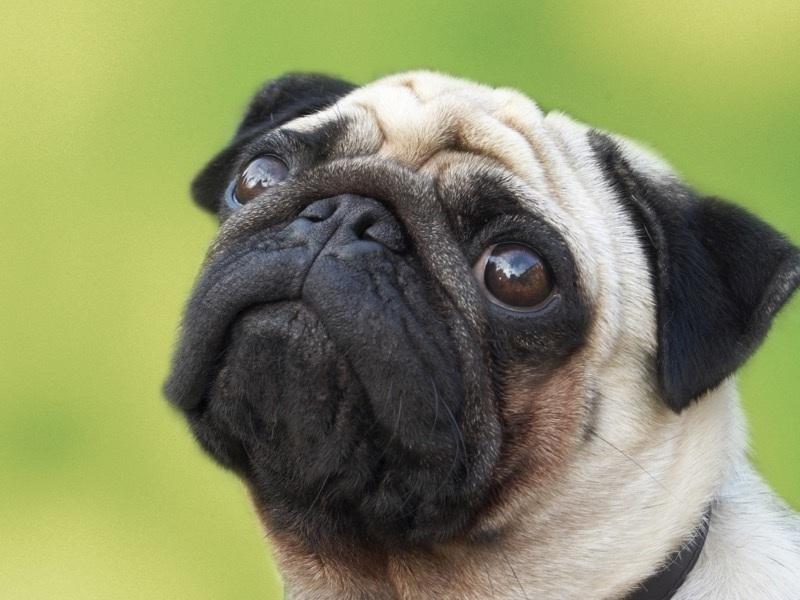 Chó mặt xệ - Pug, với khuôn mặt buồn bã nhưng hài hước
